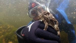 Minna Pyykkö sukeltaa sammakkolammessa. Rupikonnat ovat tarrautunut Minnan sormeen kutemaan.