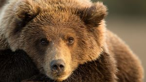 En brunbjörn som fångar lax i Alaska i september 2015.
