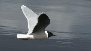 Pikkulokki lentää lähellä vedenpintaa.