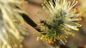 Muurahainenkin toimii pajun pölyttäjänä.