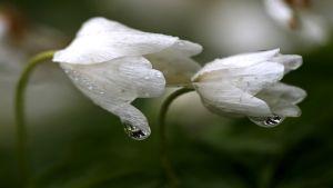 Kaksi valkovuokkoa sateella