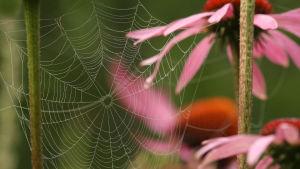 Hämähäkin ratasverkko punahatussa.
