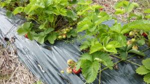 Det kalla vädret gör att jordgubbarna mognar långsammare i år.