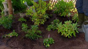 Nyplanterad rododendron och azalea på Strömsö