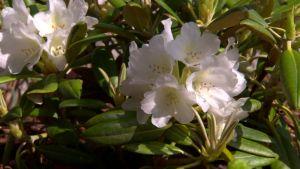 Rododendron på Strömsö