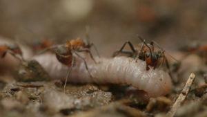 Muurahaiset kastemadon kimpussa