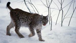 Ilves kävelee lumessa Ranuan eläinpuistossa.