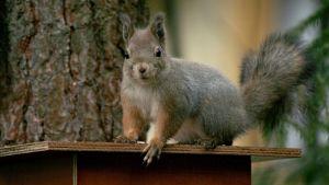 Orava lintujen ruokintapaikalla