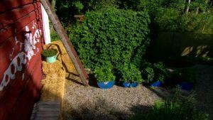 Vy över bärodlingen i trädgården på Strömsö.