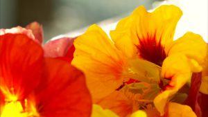 Blommor av krasse.