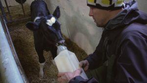 Peltsi juottaa vasikalle maitoa