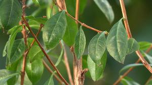 Henna-kasvi