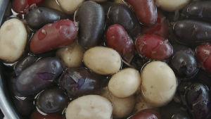 Kastrull med blandad potatis.