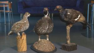En ovanlig järporre flankerad av en järpe och en orre, samtliga hanfåglar.