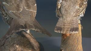 Stjärtfjädrarna på en järporre och en järpe, bägge hanfåglar.
