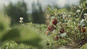 Jordgubbar i sommarvärmen.