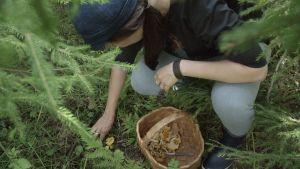 Linda plockar kantareller i skogen.