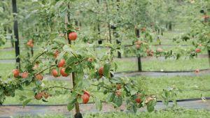 Äppelodling i Pernå