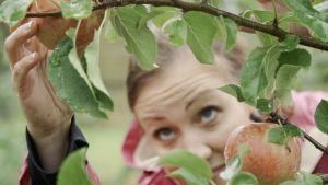 Linda plockar äppel.