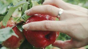 En hand plockar ett äpple.