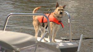 En hund med flytväst på en båt.