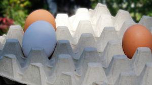 Kananmunia kennossa