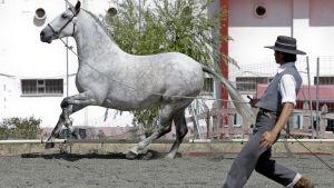 Espanjalaista täysveristä hevosta koulutetaan.