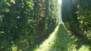 En smal stig mellan humlebuskar.