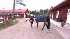 Marina Ehrnrooth leder hästen Luikka över stallgården i Kyrkslätt, oktober 2016.