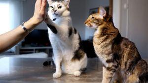 Kuvassa kissa heittää yläfemmat omistajansa kanssa.
