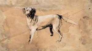 Rokka labradorinnoutaja piirustus