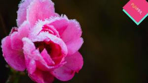 Jäähuuruinen ruusu