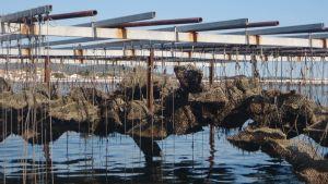 Osteriviljelmä Välimeren rannalla Bouziguessa.