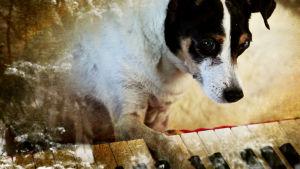 Lolabelle-koira soittaa pianoa Laurie Andersonin elokuvassa Koiran sydän (Heart of a Dog).