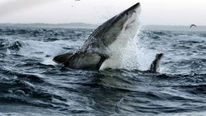 Hait ovat valtamerien huippusaalistajia, mutta niiden ravinnonsaanti on haastavaa.