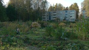 Laaja palstaviljelmä levittäytyy vihreänä. Kuvan vasemmassa reunassa nainen kitkee kyykyssä rikkaruohoja. Taustalla kohoaa kerrostaloja.