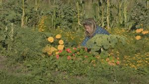 Loppukesän vehreä kasvimaa täynnä satokauden viljelykasveja ja punaisia ja keltaisia kukkia. Viljelysten keskellä nainen korjaa satoa.