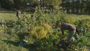 Loppukesän vehreä kasvimaa täynnä satokauden viljelykasveja ja kukkia. Viljelyksillä ihmisiä korjaamassa satoa.
