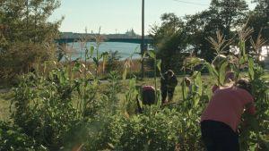 Loppukesän vehreä kasvimaa, jossa ihmisiä korjaamassa satoa. Taustalla vettä, veden yli kulkee silta. Takana siintää kaupungin siluettia.