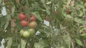 Kasvihuoneen vehreällä seinustalla kypsyy tomaatteja. Etualalla olevassa tertussa on kolme punaista, yksi oranssi ja kolme vihreää tomaattia.