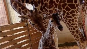 En giraffhona slickar sin nyfödda kalv.