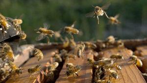 Mehiläisyhdyskuntien populaatiot ovat romahtaneet viime vuosikymmeninä.