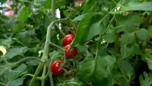 Mogna, röda tomater i Strömsös trädgårdshus