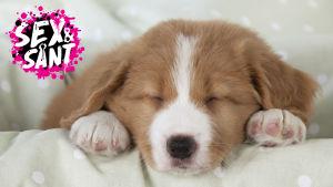 en liten hundvalp som ligger under ett täcke och sover