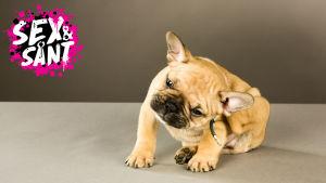 en hund som sitter och skrapar sig bakom örat