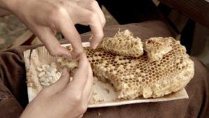 Kuvassa näkyvät mehiläiskenno ja kädet, jotka nyppivät kennosta valkoisia kuhnurintoukkia.