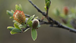 Paju kukkii Utsjoella