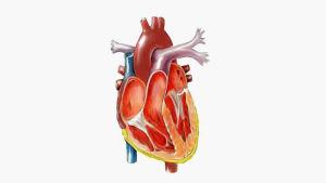 Sydämmen poikkileikkauskuva