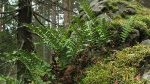 Saniaisia metsässä