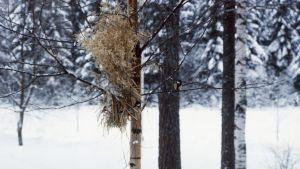Kauralyhde puussa, talitiainen oksalla